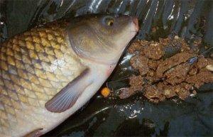 Насадкой для ужения карповых рыб на Днестре