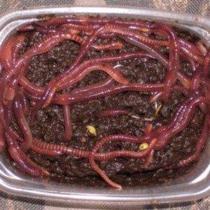 Универсальная приманка, червь