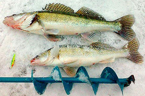 Вот таковы особенности зимней ловли судака!  Судак.  Зима.  Метки.  Зимняя рыбалка.  Зимние жерлицы на судака тоже...