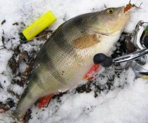 Как с успехом рыбачить на окуня
