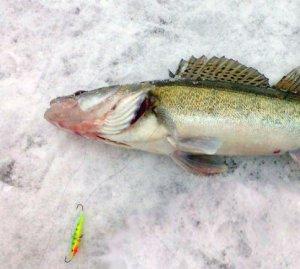 Рыбалка зимой на судака