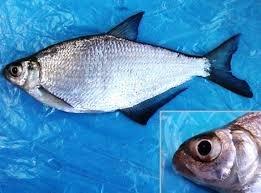 Немного о рыбе Сопа