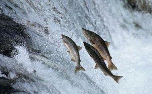 Ловля большого лосося