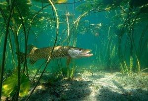 За щукой под воду