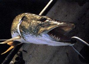 10 забавных случаев потери рыбы