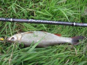 Ловля бели - советы бывалых рыбаков