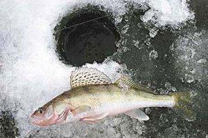 Зимняя ловля судака на тюльку. Снасти и способы ловли