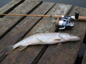Поведение хищных рыб осенью