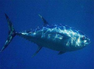 Как ловить тунца