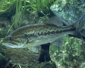 Рыбная охота за черным окунем