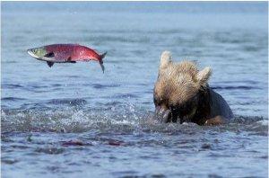 Охота за лососем