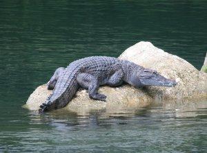 Как ловить крокодила