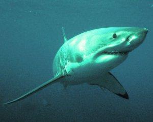 Как ловить белую акулу