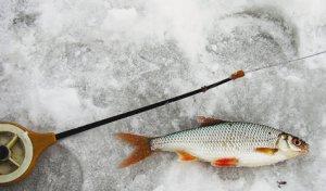 Как ловить плотву зимой