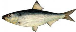 Рыбалка на морскую сельдь в Каспийском море
