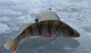 Правила ловли рыбы зимой