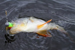 Осенняя ловля хищника - судак