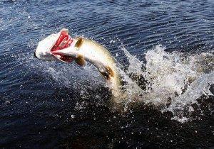 Успешная «щучья» рыбалка