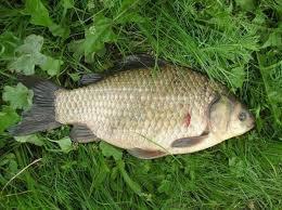 Начинающему рыбаку о карасе