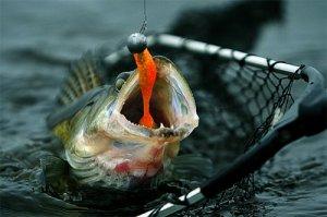 Ловля хищной рыбы: судак