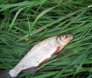 На рыбалку за подустом