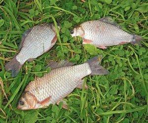 Летняя рыбалка: карась