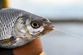 Чебак – самая неприхотливая рыба
