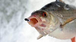 Зимняя рыбалка: Плотва
