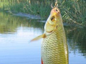 Особенности ловли красноперки в пресных водоемах