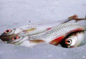 «Охота» на краснопёрку в зимнее время