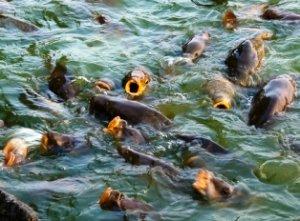 Советы по разведению рыб в домашних условиях