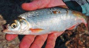 Карповые рыбы. Шемая