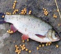 Рыболовные насадки. Горох