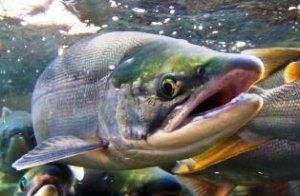 Семейство лососевых рыб