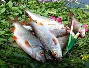 Как и на что рыбачить на плотву