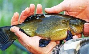 Как рыбачить на линя