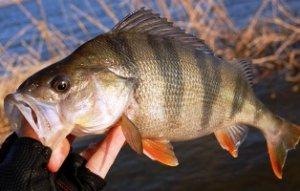 Как рыбачить на окуня на живца