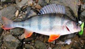Рыбалка на окуня. Как выбрать насадку
