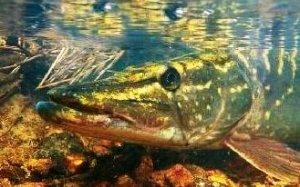 Рыбалка на щуку. Особенности проводки