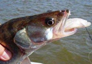 Секреты удачной рыбалки на живца