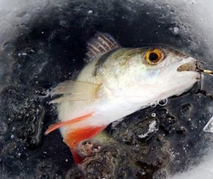 Как рыбачить на окуня в ноябре