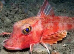 Красный морской петух