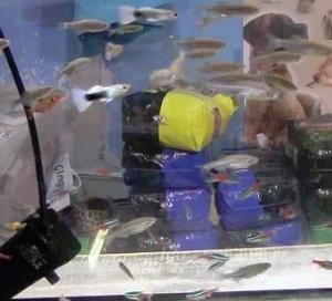 Разведение рыбок как хобби